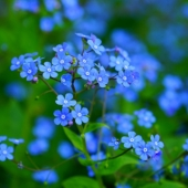 Forget Me Not 'Chinese Firmament Blue'