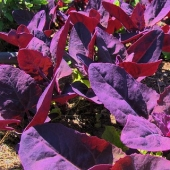 Purple Orach / Mountain Spinach